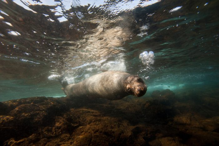 Photo: An endangered Galapagos sea lion, Zalophus wollebaeki, near Bartholomew Island in the Galapagos.