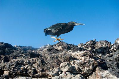 Photo: A striated heron, Butorides striata, in Galapagos National Park.