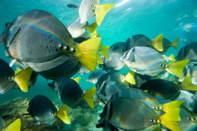 Photo: Close up of razor sturgeonfish, Prionurus laticlavius, in the Galapagos.