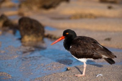 An American oystercatcher (Haematopus palliatus) on Santa Cruz Island, Galapagos National Park.