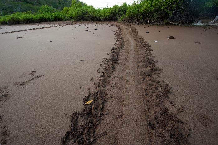 Photo: Sea turtle tracks on Floreana Island in Galapagos National Park.