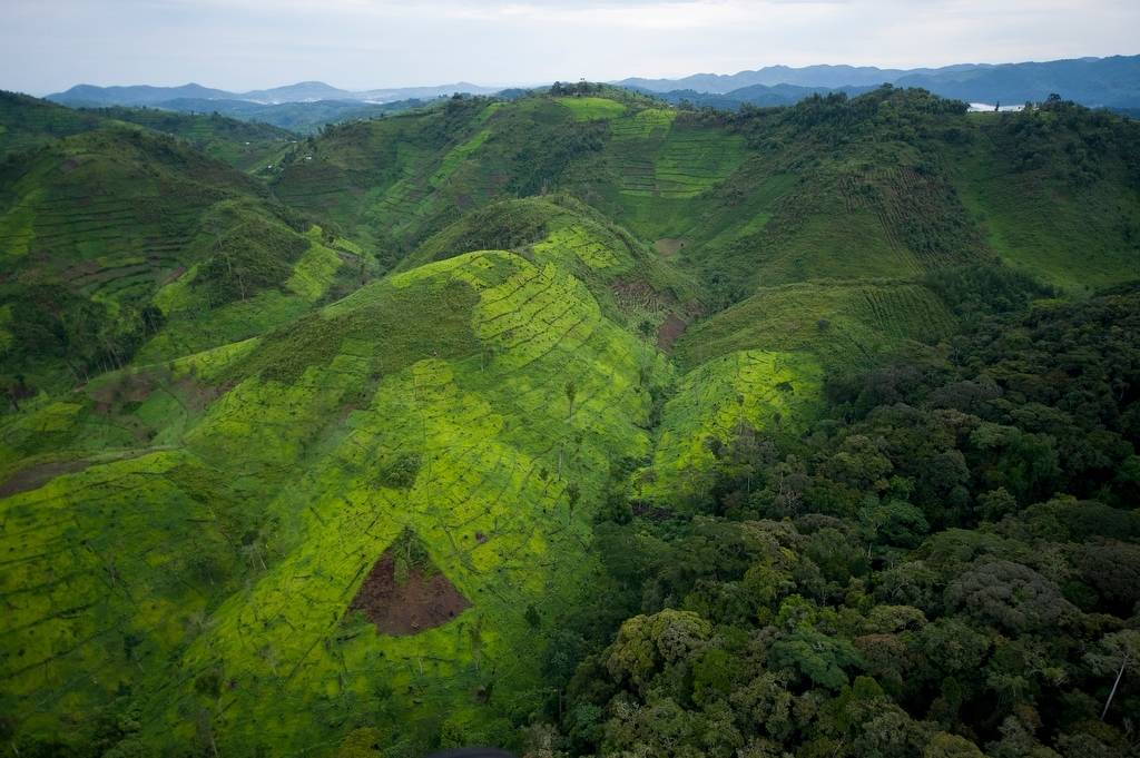 The human devastation to the landscape around Bwindi Impenetrable Rainforest is growing every year. This is one of only two places remaining with mountain gorillas. Slash and burn agriculture continues to assault Bwindi from all sides.