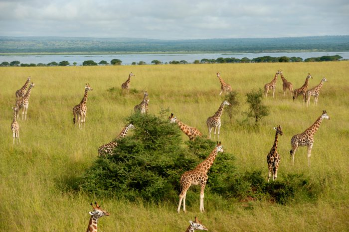 Photo: Giraffe can be found in great numbers again in Uganda's Murchison Falls National Park, but perhaps not for long.