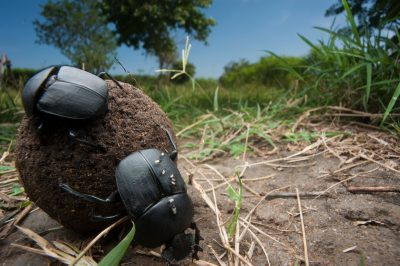 Photo: With the great antelope herds gone, dung beetles now make use of horse manure along Lake Albert in the Albertine Rift of Uganda.