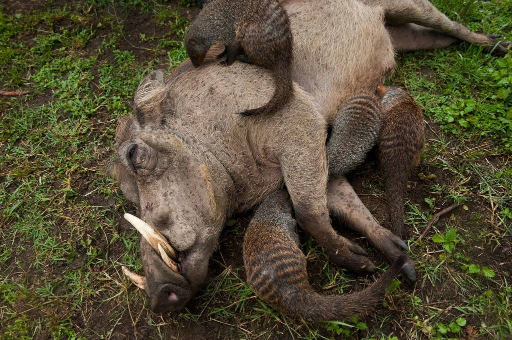Photo: A warthog lies down and gets cleaned of parasites by a group of banded mongoose near Mweya Lodge.