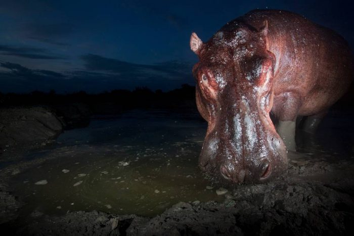 Photo: At dusk, a hippo stares down a remote camera placed at a favorite water hole in Queen Elizabeth National Park, Uganda.