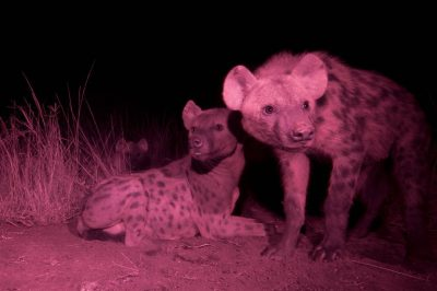 Photo: An infrared camera trap captures hyenas near their den in the Queen Elizabeth National Park in Uganda.
