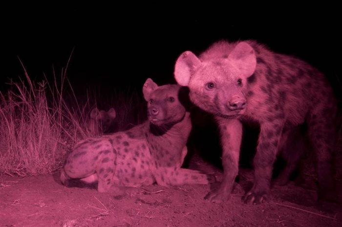 Photo: An infrared camera trap captures hyenas near their den in the Queen Elizabeth National Park in Uganda.
