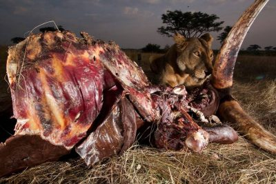 Photo: A lioness feeds on the remains of a cow inside Queen Elizabeth National Park in Uganda.