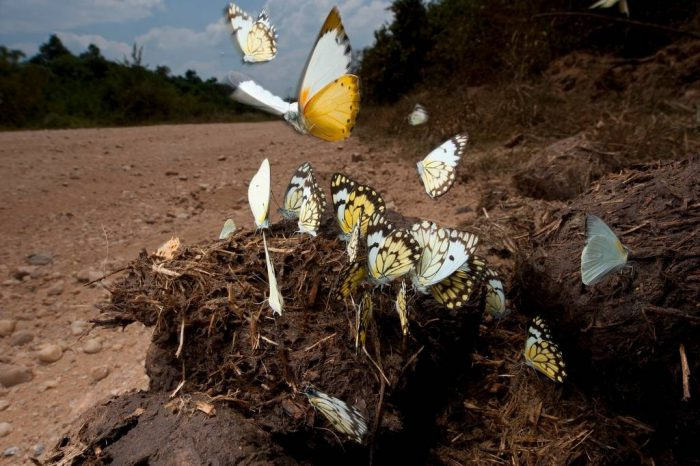 Photo: Butterflies turn elephant dung into something special on the road into Queen Elizabeth National Park, Uganda.