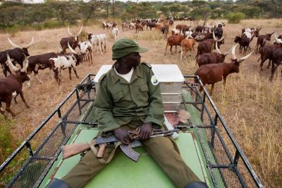 Photo: A park guard watches helplessly as cattle graze illegally inside Queen Elizabeth National Park in Uganda.
