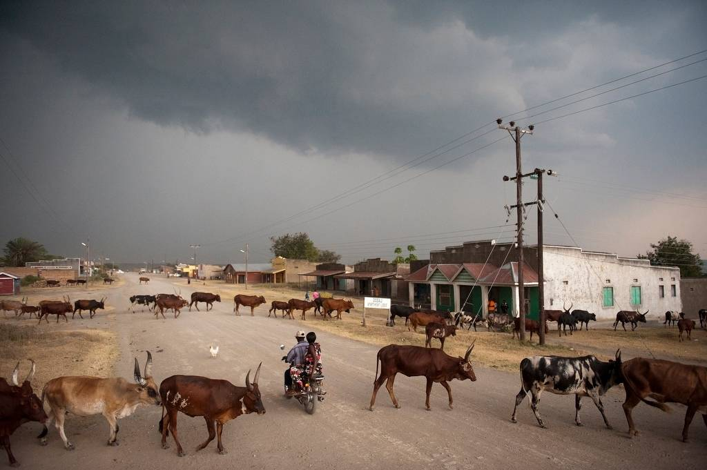 Photo: Cattlemen push their herds back into town after a day of grazing illegally inside Queen Elizabeth National Park in Uganda.