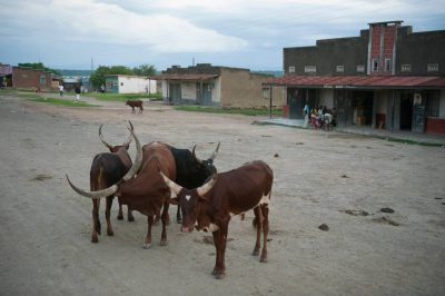 Photo: Cattle stand in the middle of a village road in Uganda, Africa.