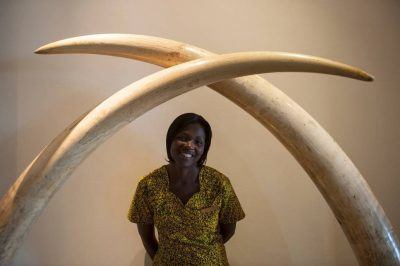 Photo: Worker and elephant tusks at Mweya Lodge in Queen Elizabeth National Park in Uganda, Africa.