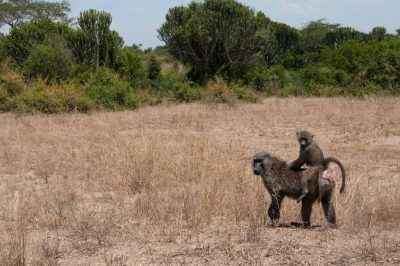 Photo: A baboon family in Queen Elizabeth National Park in Uganda, Africa.