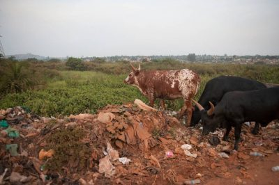 Photo: Cattle rummage through trash a long the road in Uganda, Africa.
