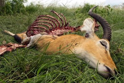 Photo: A dead Ugandan kob, Kobus kob thomasi, killed by lions in Queen Elizabeth National Park in Uganda, Africa.