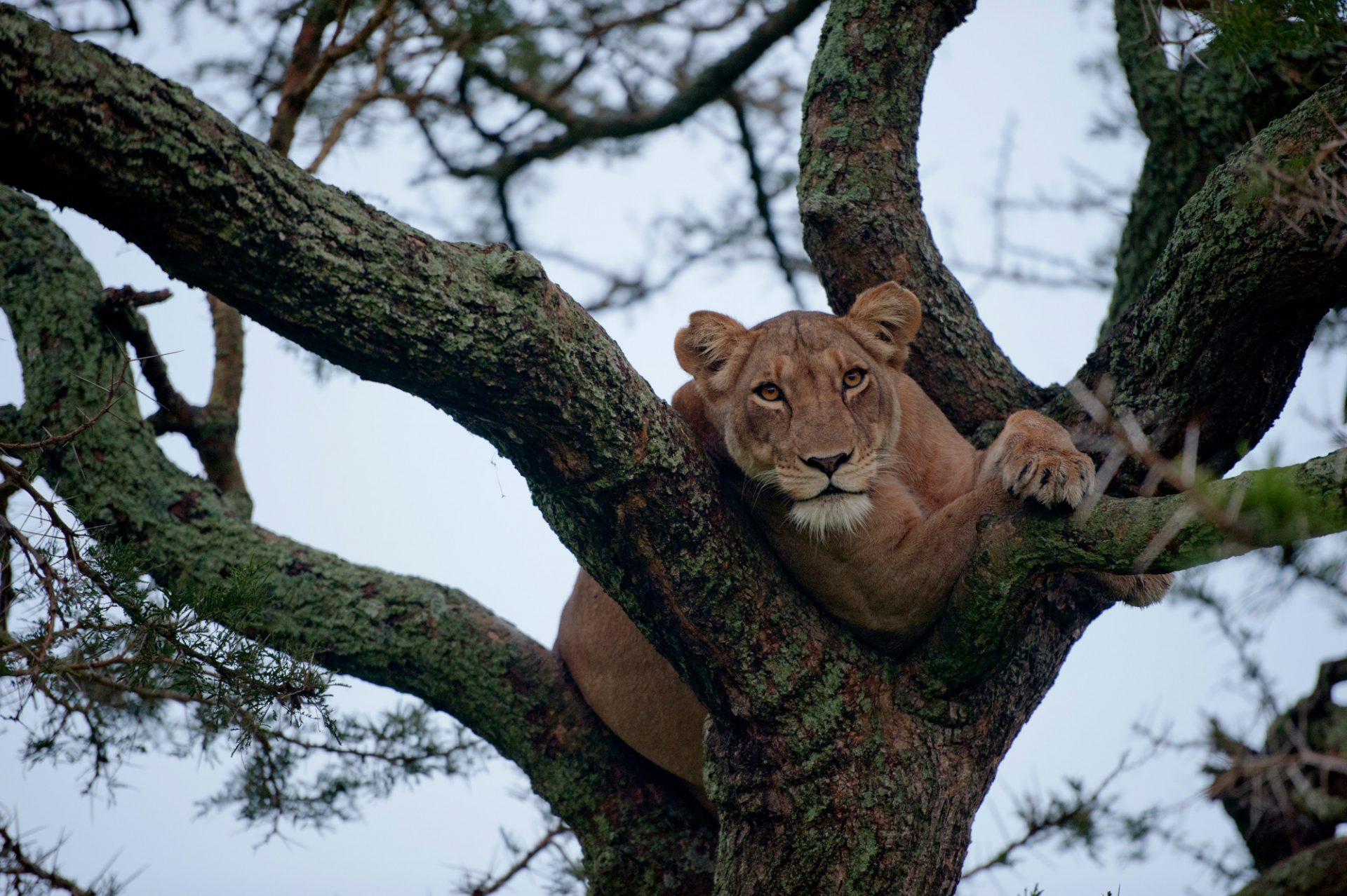 Photo: An African lion climbs a tree to sleep.