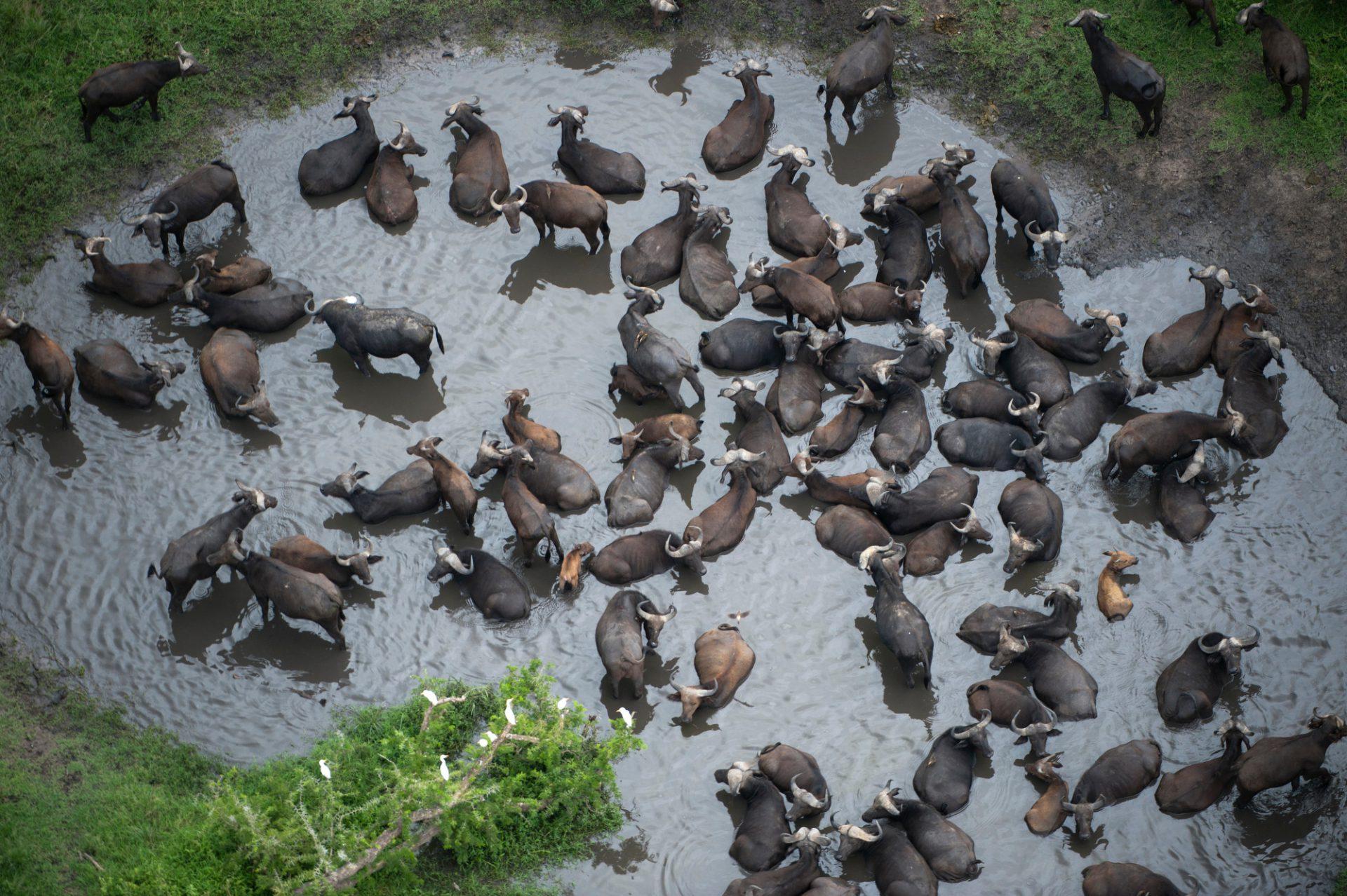 Photo: A water buffalo herd bathing in a water hole.