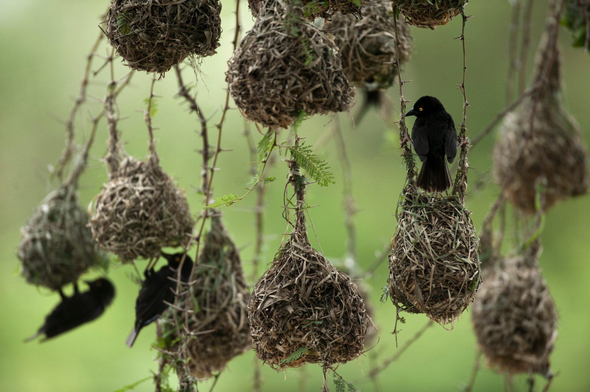Photo: Weaver birds build nests inside Queen Elizabeth National Park.