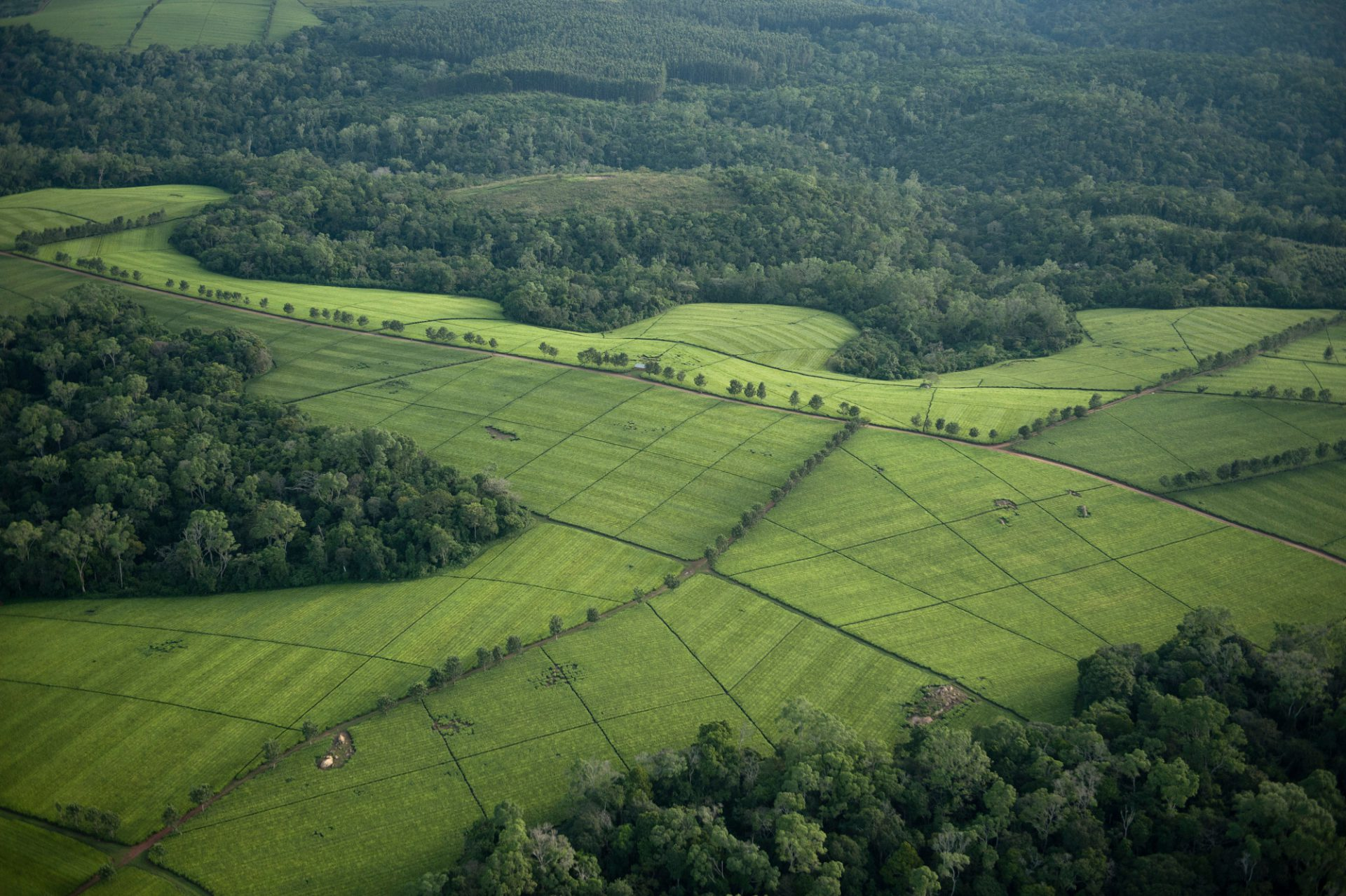 Photo: The Mwenge tea estate in the Albertine Rift.