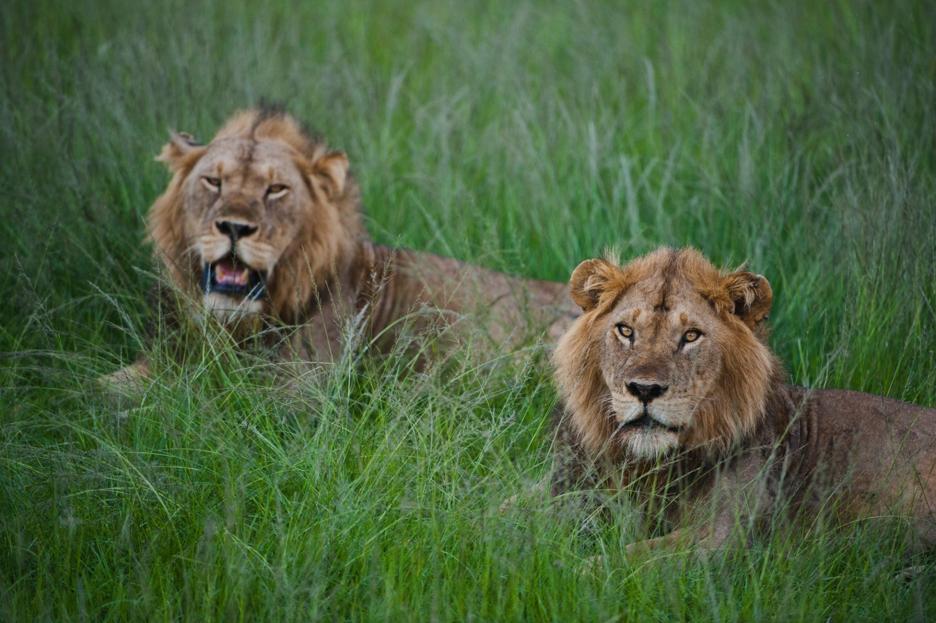 Photo: A pair of male African lions resting at a safari lodge.