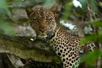 Photo: A young female leopard rests in a euphorbia tree.