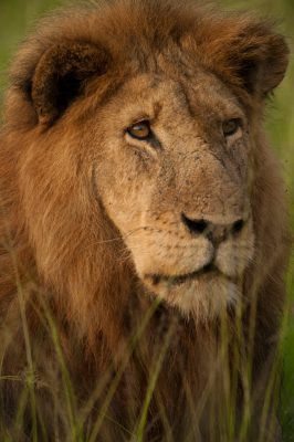 Photo: Ziwa the lion, in Queen Elizabeth National Park.