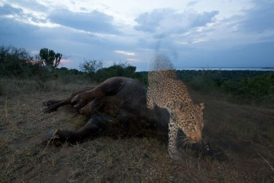 Photo: A remote camera captures a leopard and a cape buffalo carcass.