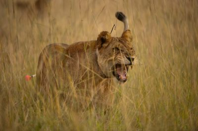 Photo: A lioness reacts to being darted with a tranquilizer.
