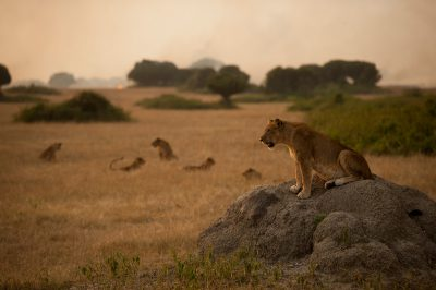 Photo: Lions in the northern end of Queen Elizabeth National Park.