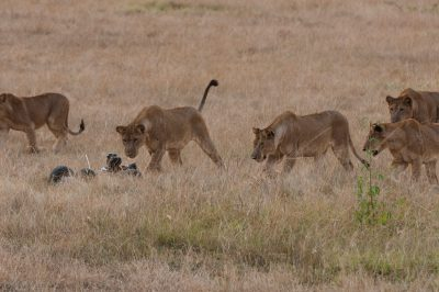Photo: Lions meet the robocar in Queen Elizabeth National Park.