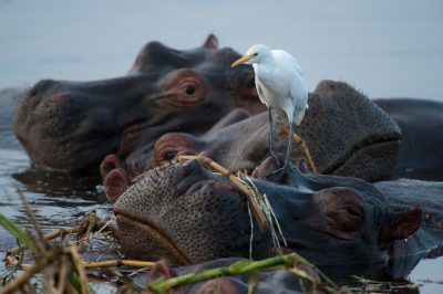 Photo: Hippos and shorebirds along the Kazinga Channel.