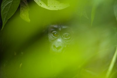 An endangered mountain gorilla in Bwindi Impenetrable Forest.