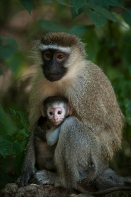 Photo: A vervet monkey with her baby in Queen Elizabeth National Park.