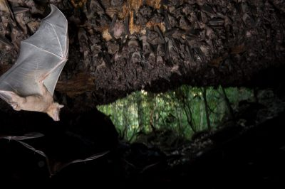 Photo: A cave with thousands of Egyptian fruit bats in the Maramagambo Forest in Africa.