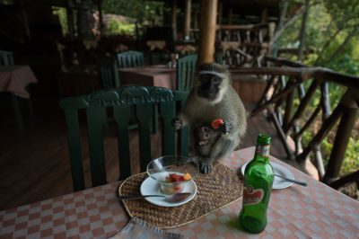 Photo: A vervet monkey with her baby steals fruit at a lodge.