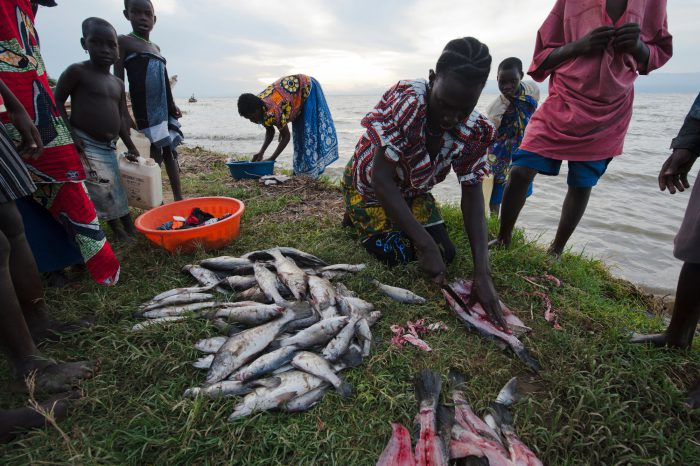 Photo: Cleaning small Nile perch to be smoked and sold.