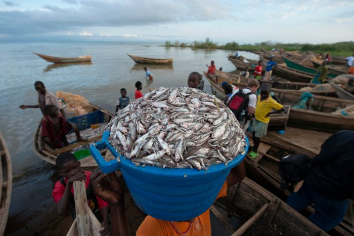 Photo: Locals carry bucket loads of tiny carpenter fish from Lake Albert.