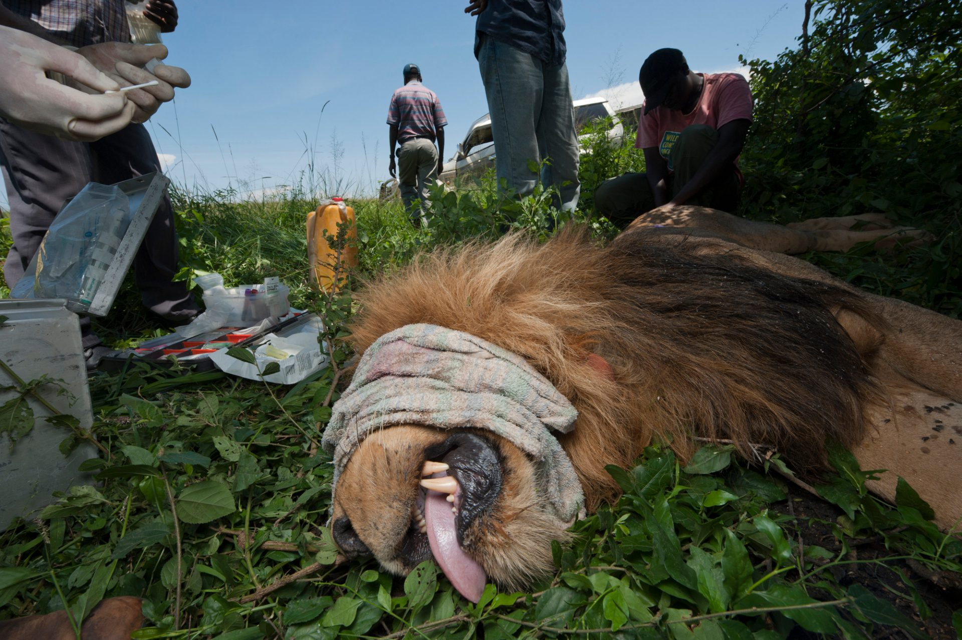Photo: A crew tranquilizes and radio collars a lion for monitoring.