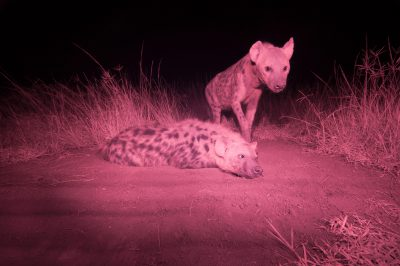 Photo: An infrared camera captures spotted hyenas on their dirt pad.