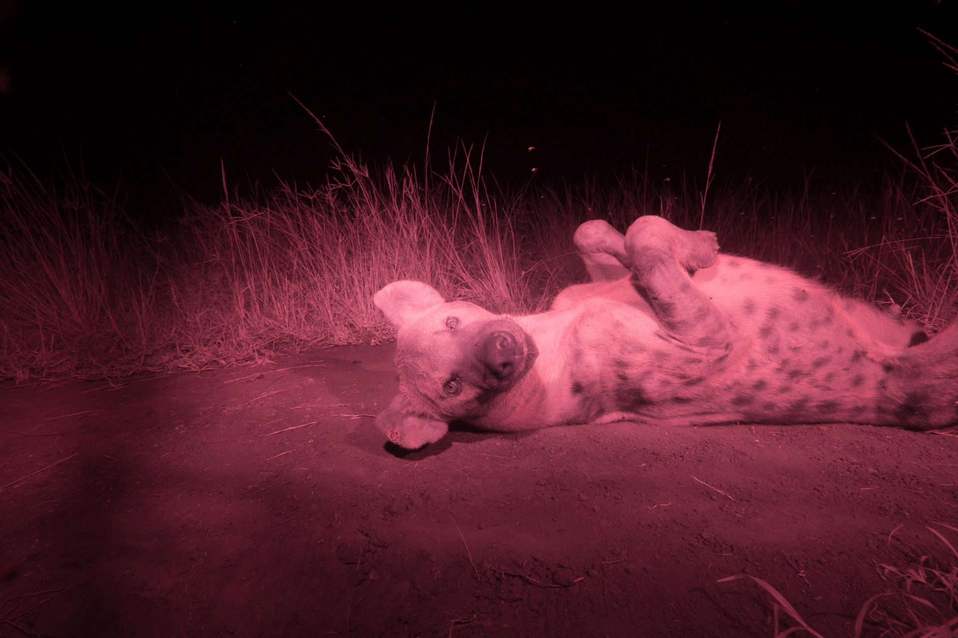 Photo: An infrared camera captures a spotted hyena on its dirt pad.