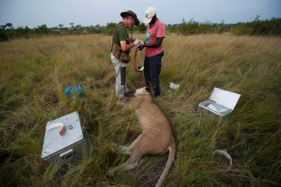 Photo: Radio collaring a sedated female lion for monitoring.