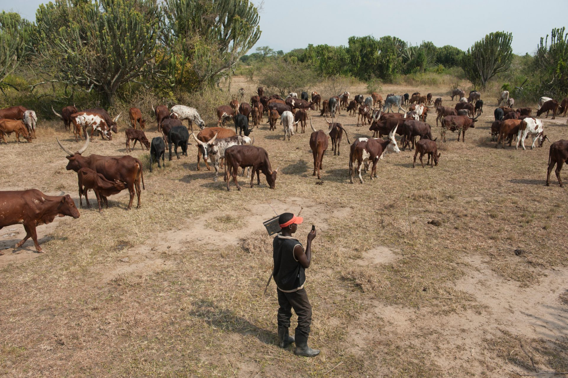 Photo: Herders graze their stock illegally in Queen Elizabeth National Park.