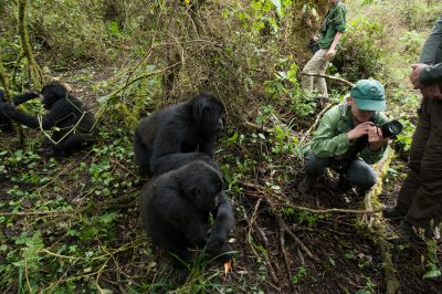 Tourists photograph endangered mountain gorillas.