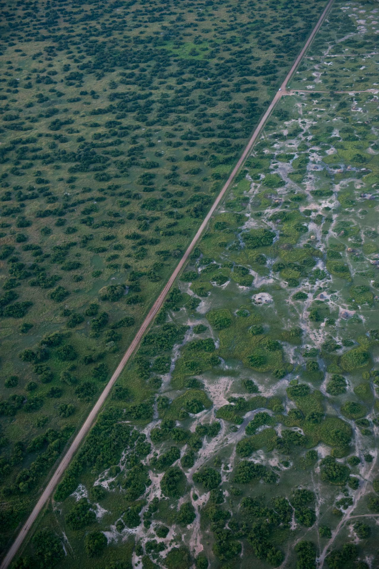 Photo: A road divides where cattle have overgrazed the landscape.