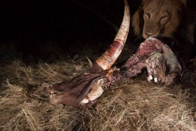Photo: A lion feeds on a cow carcass in Queen Elizabeth National Park.