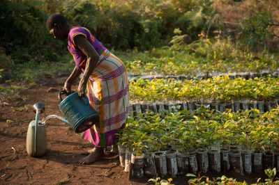 Photo: In a nursery, a woman waters umbawa trees to be planted in Gorongosa National Park's clear-cut areas.