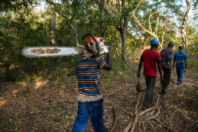 Photo: Men use chainsaws and heavy equipment to cut large trees in the miombo woodland that forms the 'buffer zone' around the Gorongosa National Park in Mozambique, Africa.