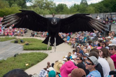 Photo: A crowd of people watch a black vulture, Coragyps atratus, fly overhead at Le Parc des Oiseaux, a bird park in the town of Villars Les Dombes, France.